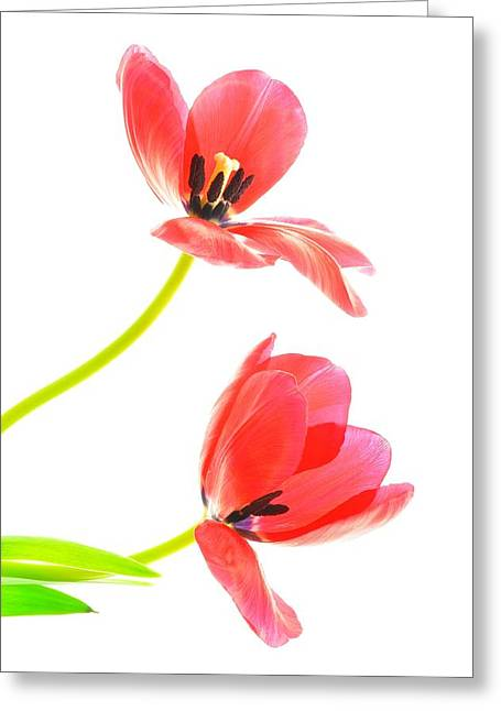 Two Red Transparent Flowers Greeting Card
