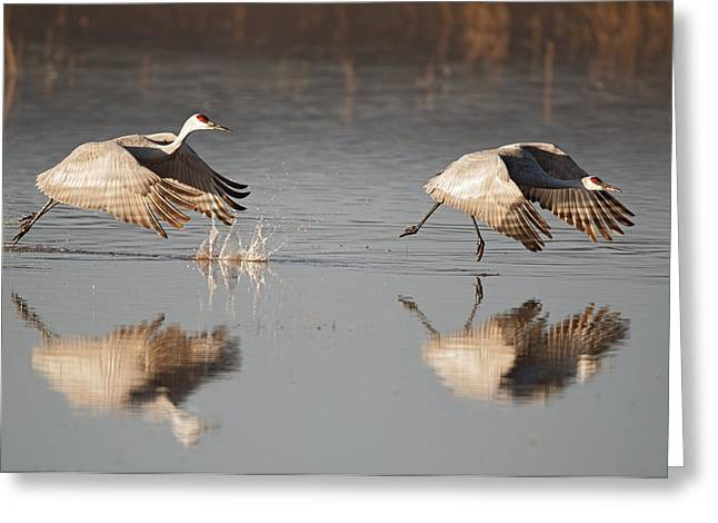 Two Sandhill Crane Taking Off Greeting Card by Gary Langley