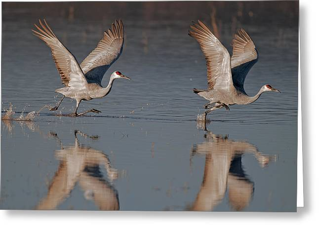 Two Sandhill Crane Taking Off  Sunrise Greeting Card by Gary Langley