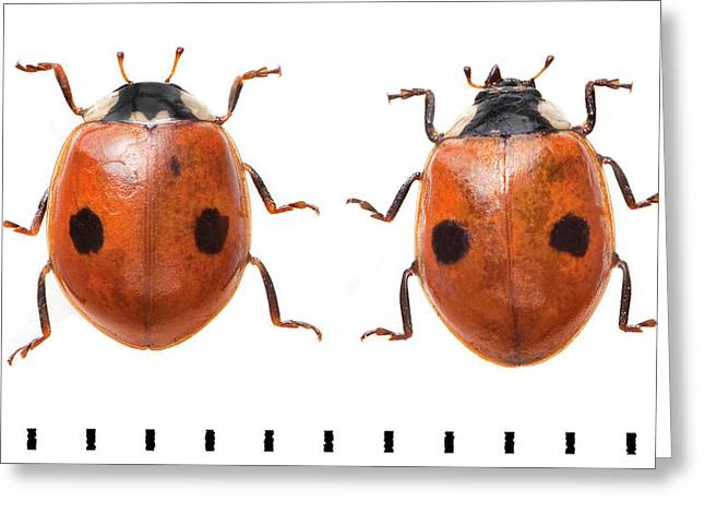Two-spot Ladybird Greeting Card by Natural History Museum, London