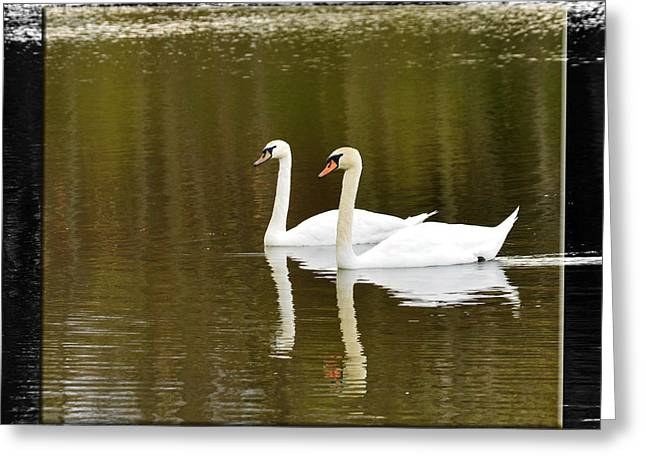 Two Swans A Swimming Greeting Card by Robert Clayton