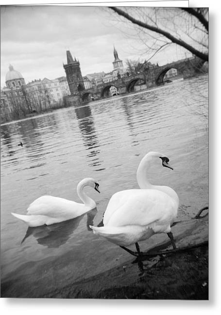 Two Swans In A River, Vltava River Greeting Card