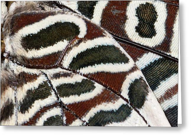 Two-tailed Pasha Butterfly Greeting Card by Nigel Downer