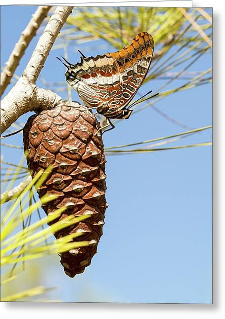 Two-tailed Pasha (charaxes Jasius) Greeting Card by Photostock-israel