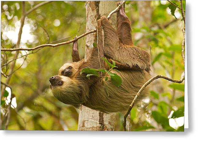 Two-toed Sloth Greeting Card by Brian Magnier