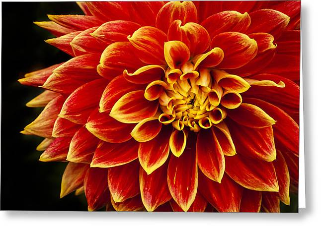 Two Toned Dahlia Greeting Card