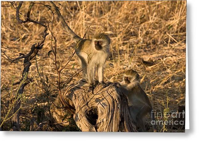 Two Vervet Monkeys Greeting Card by Chris Scroggins