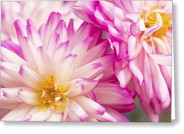 Two White And Pink Decorative Dahlias Greeting Card by Daphne Sampson
