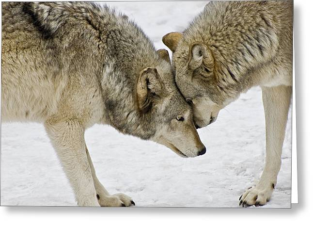 Two Wolves In  A Staredown Greeting Card