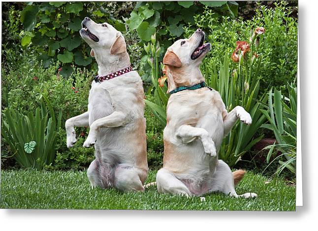 Two Yellow Labrador Retrievers Sitting Greeting Card by Zandria Muench Beraldo
