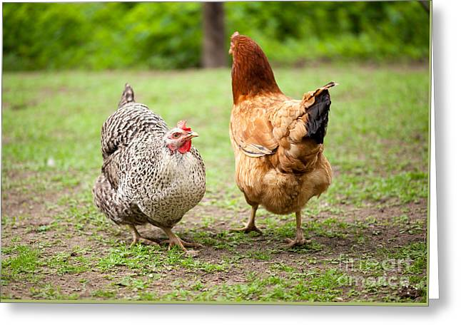 hens Plymouth rock chicken and Rhode Island Red  Greeting Card by Arletta Cwalina