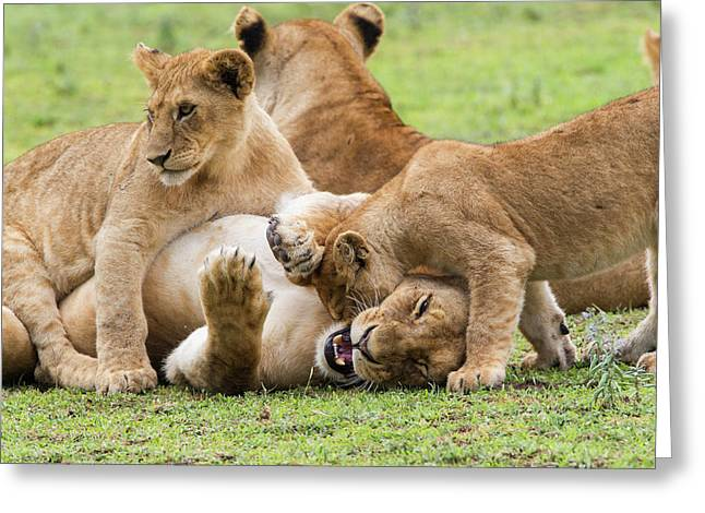 Two Young Lion Cubs Playfighting While Greeting Card by James Heupel