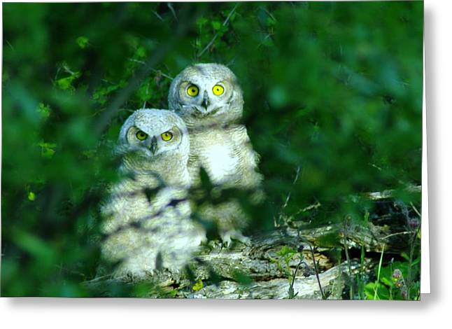 Two Young Owls Greeting Card by Jeff Swan