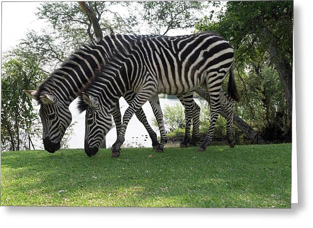 Two Zebras Eating Grass At Royal Greeting Card