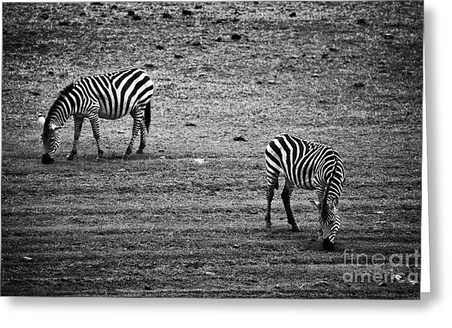 Two Zebras Eating. Tanzania Greeting Card