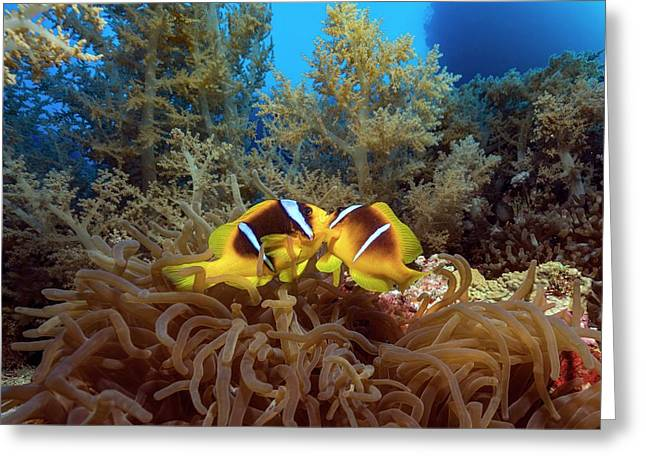 Twoband Anemonefish In An Anemone Greeting Card by Alexis Rosenfeld/science Photo Library