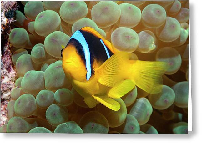 Twoband Anemonefish In An Anemone Greeting Card by Georgette Douwma