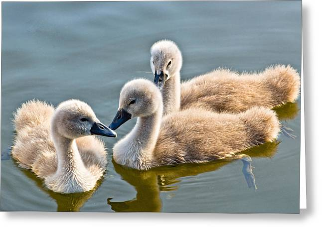 Ugly Ducklings Greeting Card by Scott Carruthers