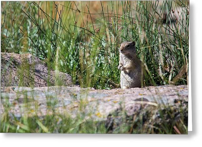 Uinta Ground Squirrel Greeting Card
