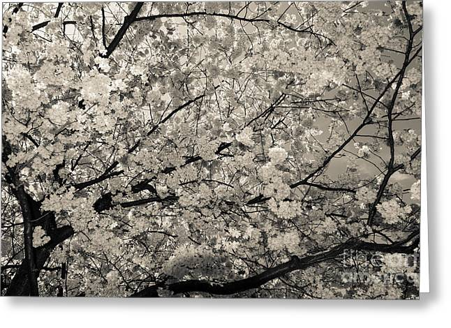 Under The Cherry Tree - Bw Greeting Card by Hannes Cmarits
