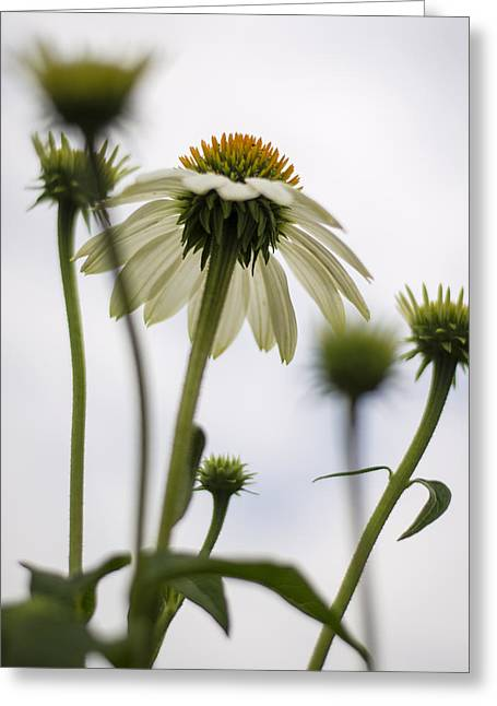 Under The Echinacea Greeting Card by Heather Applegate