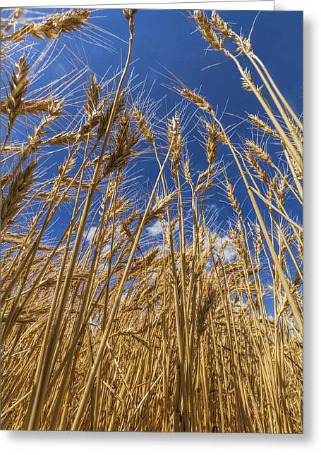 Under The Wheat Greeting Card by Rob Graham