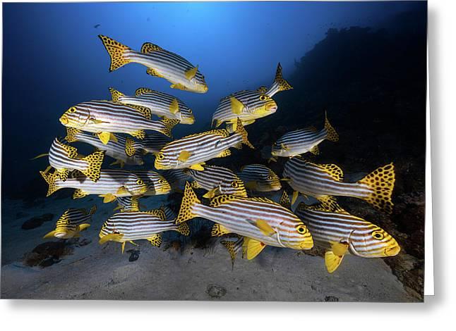 Underwater Photography-indian Ocean Sweetlips Greeting Card