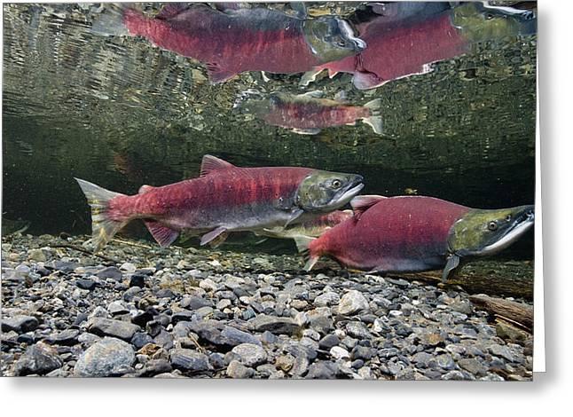 Underwater View Of Sockeye Salmon Greeting Card by Thomas Kline