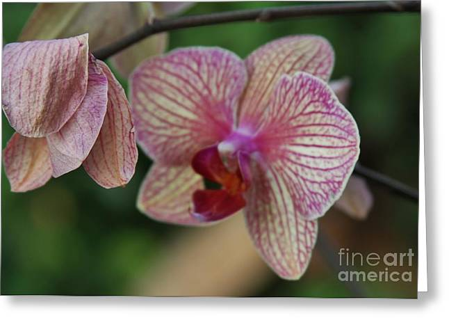 Unfolding Bloom Greeting Card by Butch Phillips