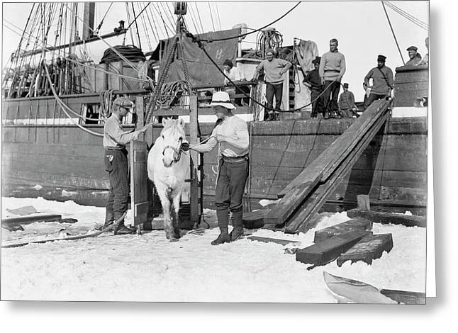Unloading Pony In Antarctica Greeting Card by Scott Polar Research Institute