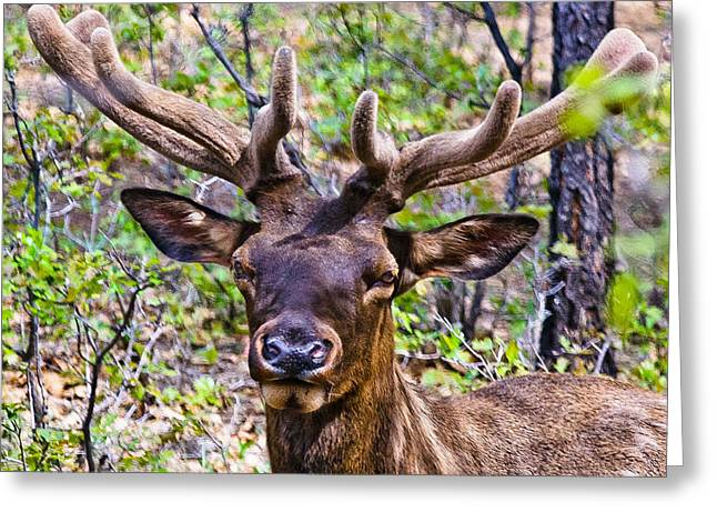 Greeting Card featuring the photograph Up Close And Personal With An Elk by Bob and Nadine Johnston