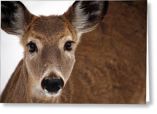 Up Close Doe Greeting Card by Karol Livote
