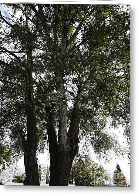 Up-view Of Oak Tree Greeting Card