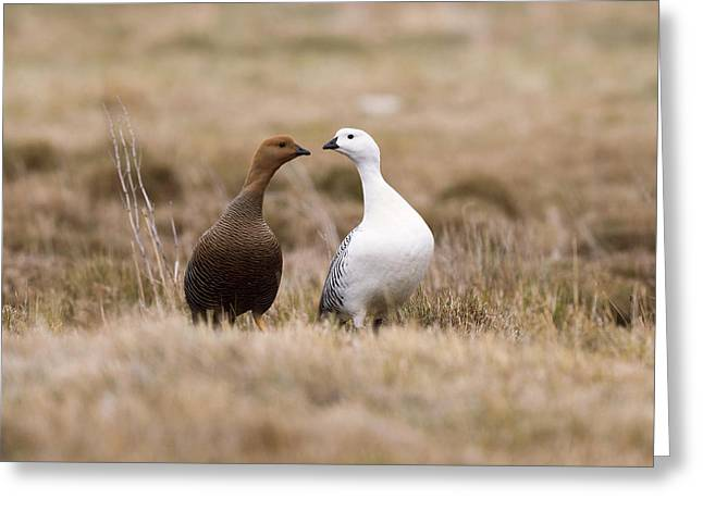 Upland Goose Female And Male Greeting Card