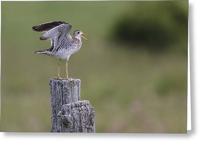 Upland Sandpiper Greeting Card