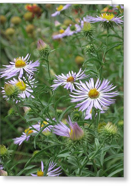 Uplifted Asters Greeting Card