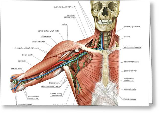 Upper Body Lymphoid System Greeting Card by Asklepios Medical Atlas