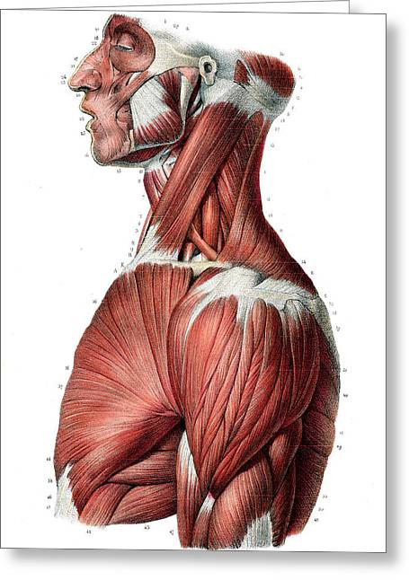 Upper Body Muscles Greeting Card by Collection Abecasis