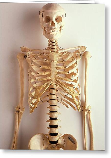Upper Part Of Human Skeleton Greeting Card by Dorling Kindersley/uig