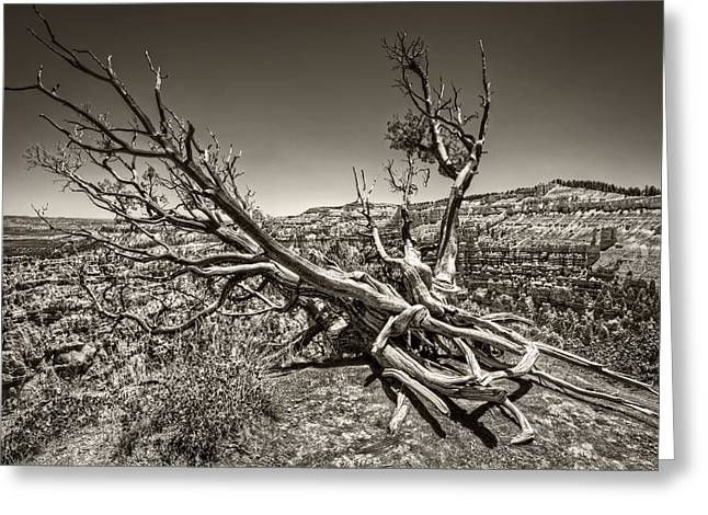 Uprooted - Bryce Canyon Sepia Greeting Card by Tammy Wetzel