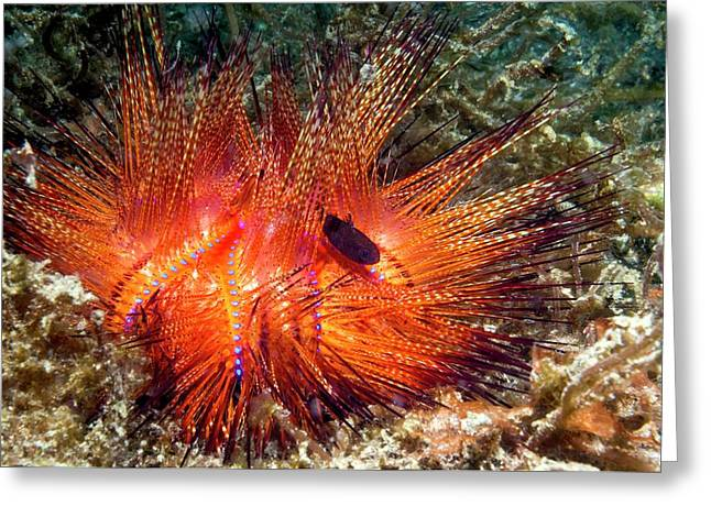 Urchin Siphonfish And Fire Urchin Greeting Card