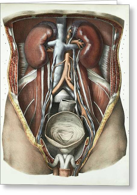 Urinary System Greeting Card by Science Photo Library