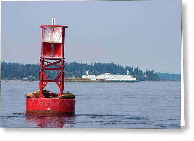 Us, Wa California Sea Lions (zalophus Greeting Card