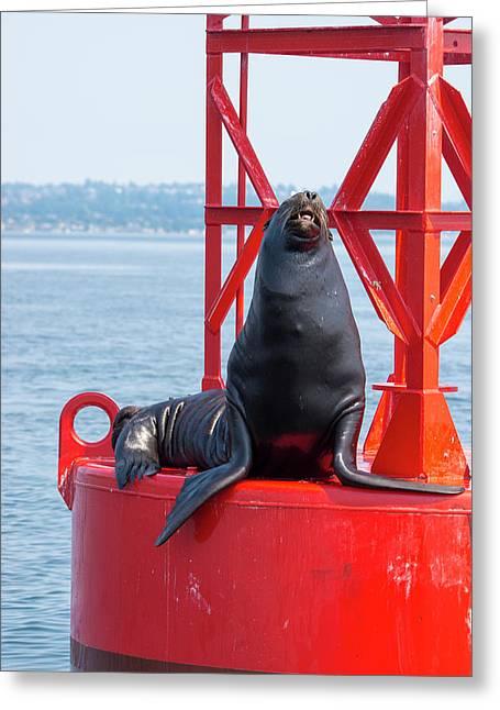Us, Wa Puget Sound, California Sea Lion Greeting Card