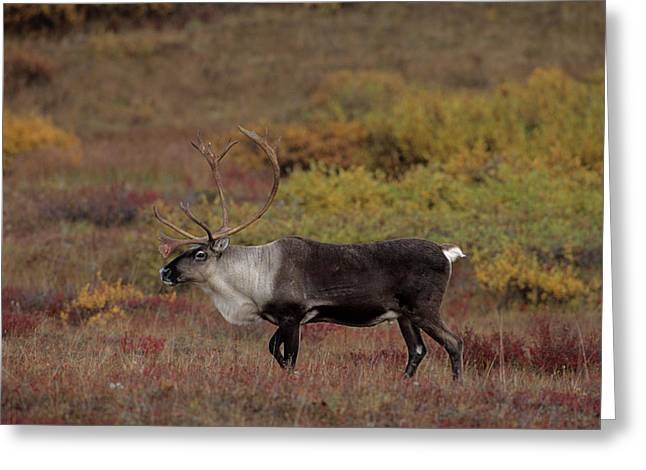 Usa, Alaska, Bull Caribou, Denali Greeting Card by Gerry Reynolds