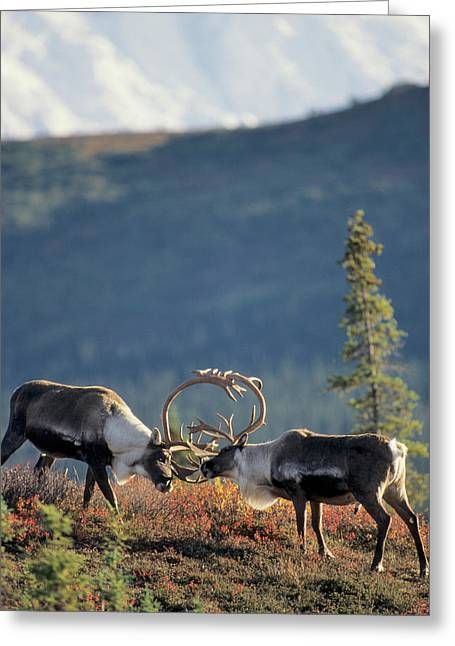 Usa, Alaska, Bull Caribou, Mount Greeting Card by Gerry Reynolds