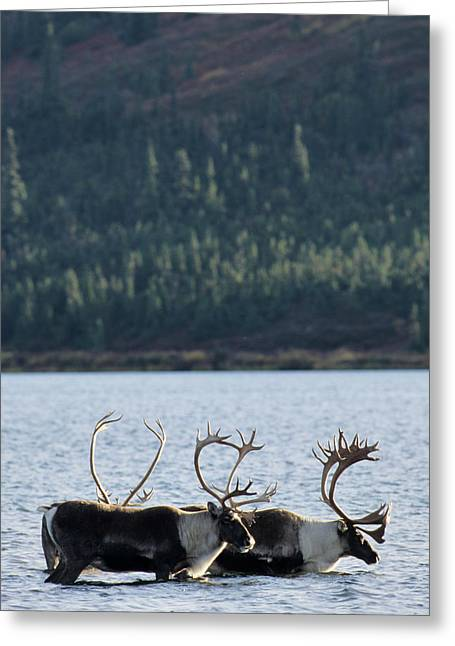 Usa, Alaska, Bull Caribou, Wonder Lake Greeting Card by Gerry Reynolds