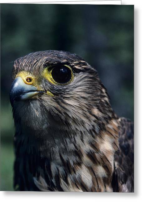 Usa, Alaska, Merlin Falcon, Denali Greeting Card