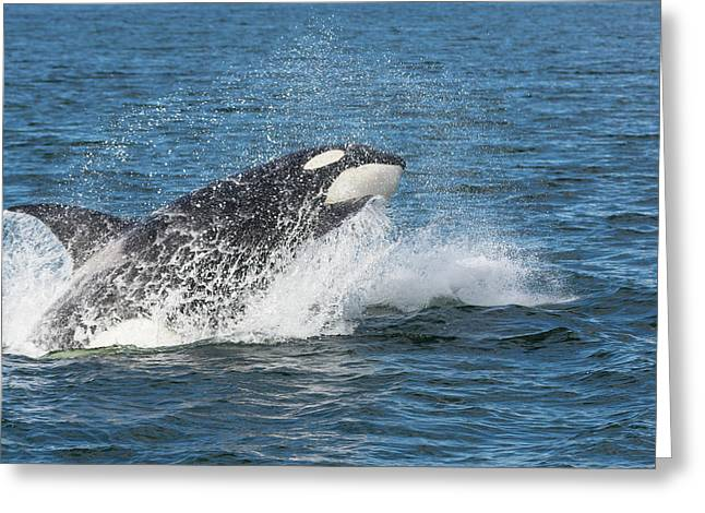 Usa, Alaska Orca Whale Breaching Credit Greeting Card by Jaynes Gallery