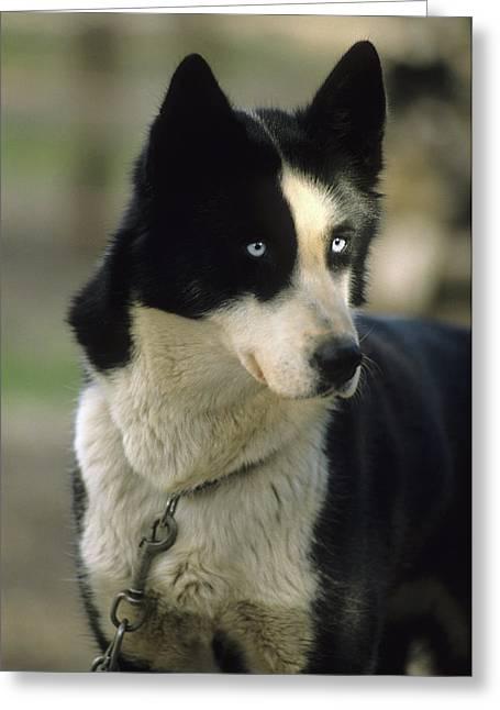 Usa, Alaska, Sled Dog, Dog Sledding Greeting Card